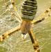Křižák pruhovaný - Argiope bruennichi ♀ IV
