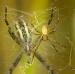 Křižák pruhovaný - Argiope bruennichi ♂ V