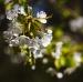 Slunící se třešeň