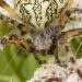 Křižák skvostný - Aculepeira ceropegia II
