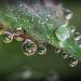 Kapky rosy