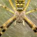 Křižák pruhovaný - Argiope bruennichi ♀ III