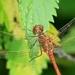 vážka rudá....    ( z Palhance)