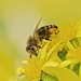 pilná včelka ...