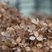 Zimní hortenzie