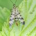Srpice obecná (Panorpa communis)