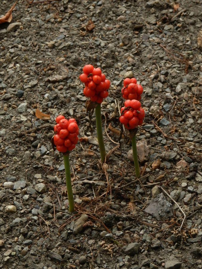 Malý obrazový atlas rostlin: Árón plamatý
