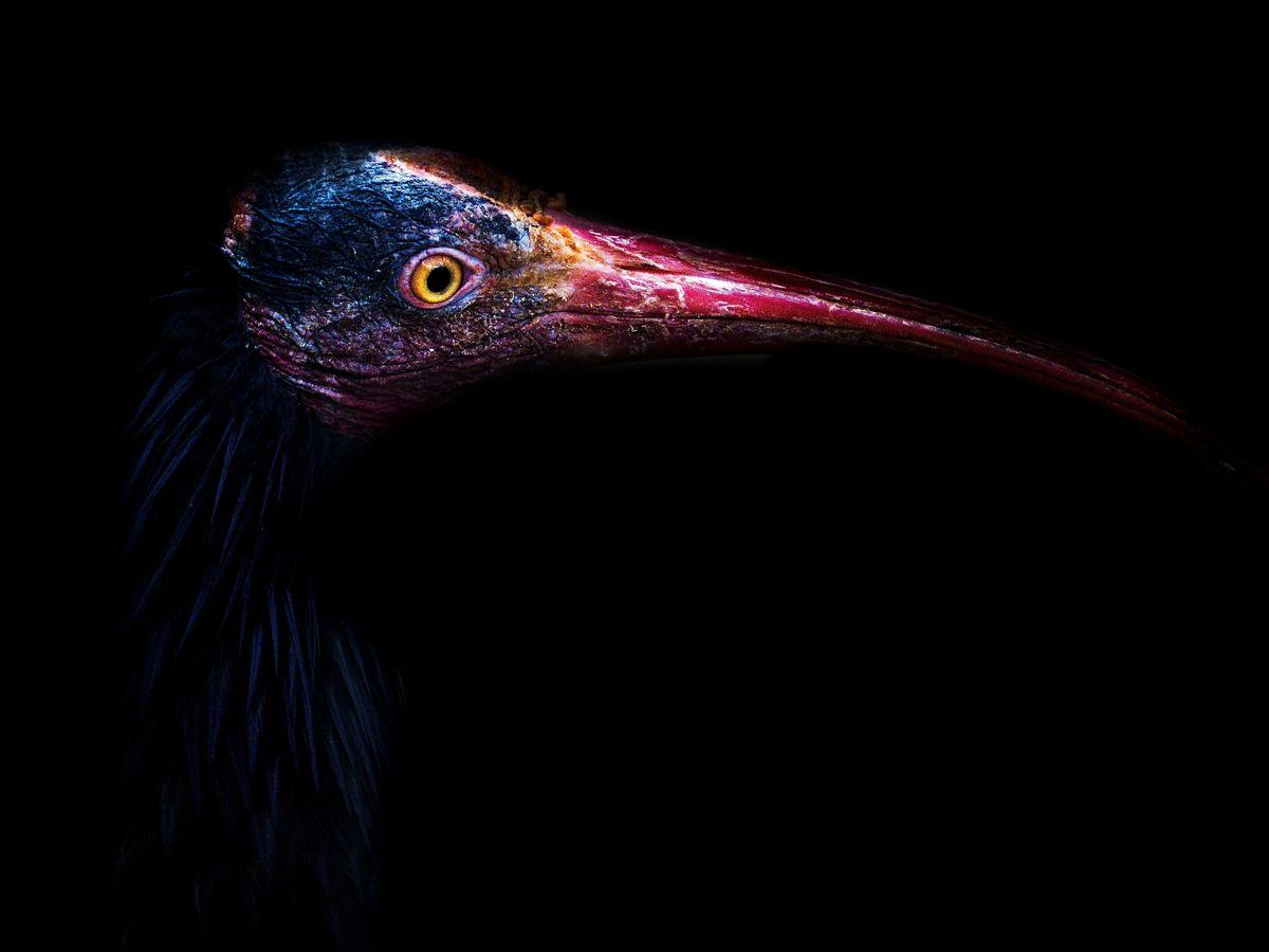 Severní plešatý Ibis
