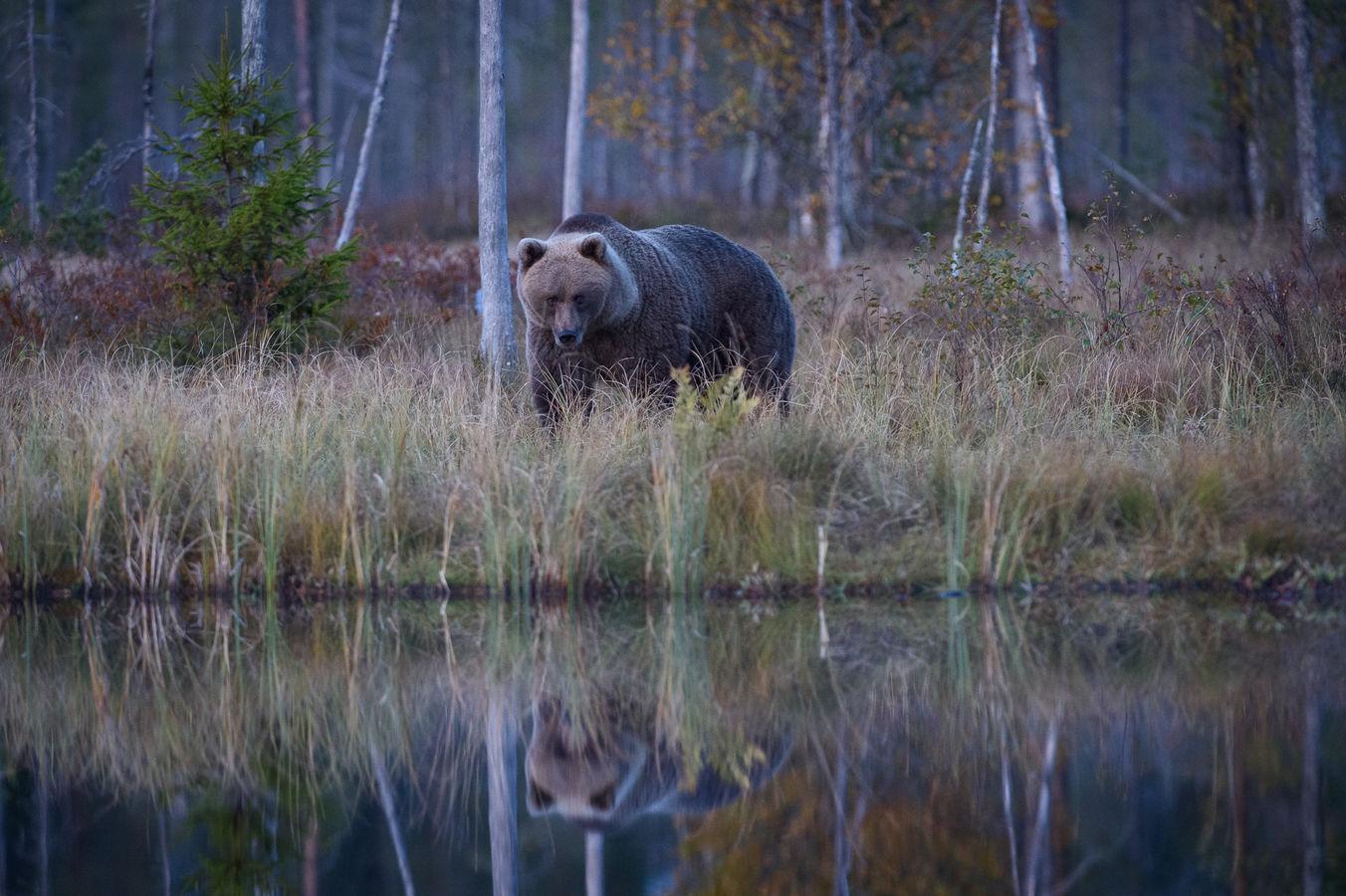 Medvěd hnědý - zrcadlení