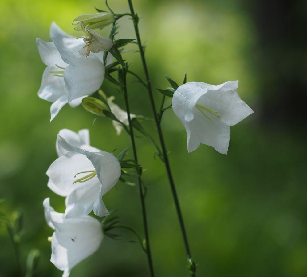 Bílé zvonky