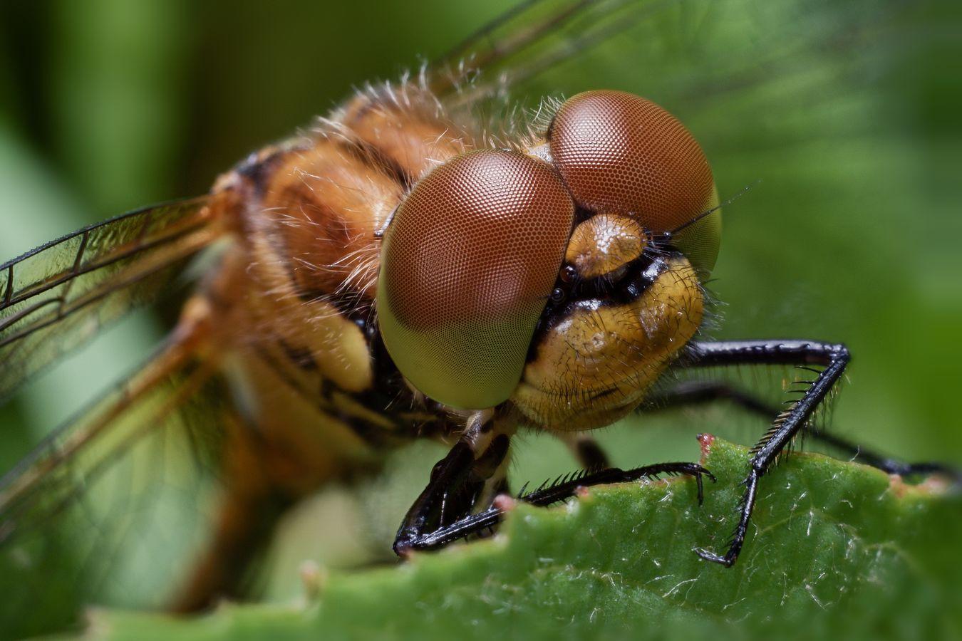 Vážka pohodářka