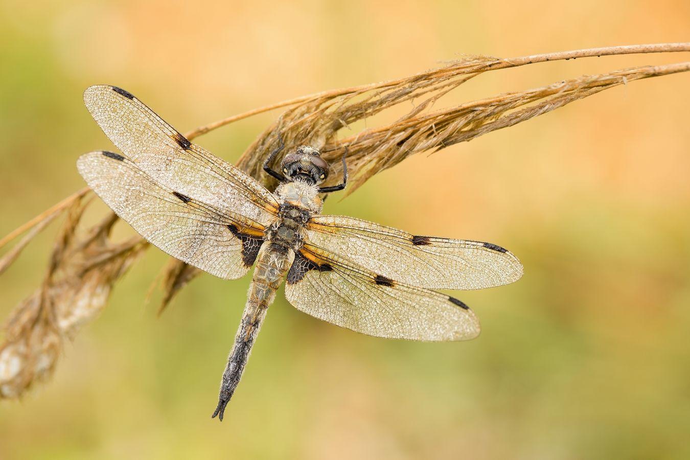 Vážka čtyřskvrnná, sameček