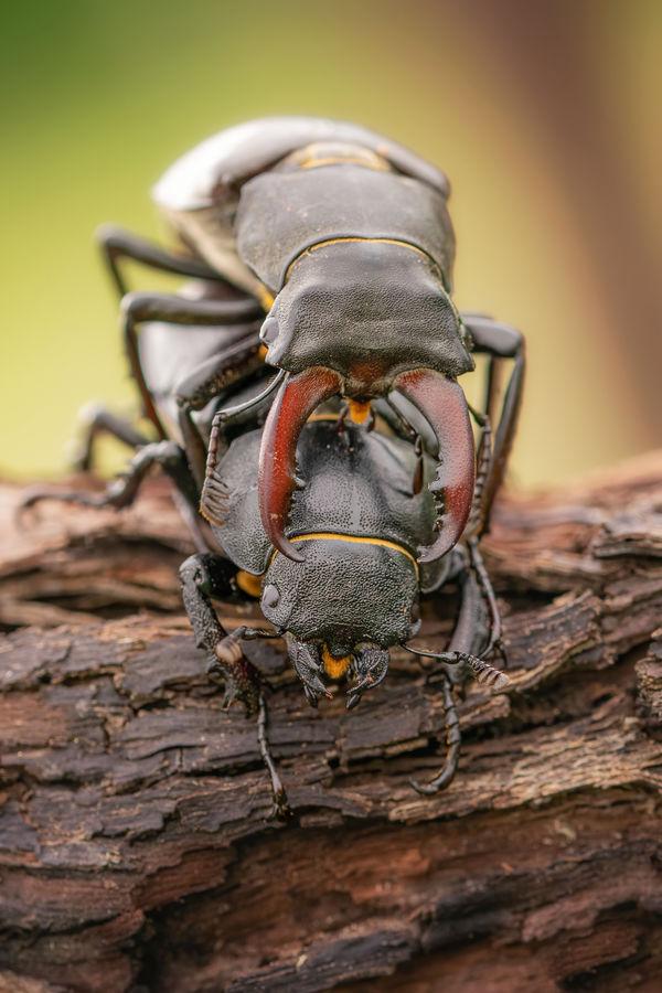 Roháč obecný (Lucanus cervus )