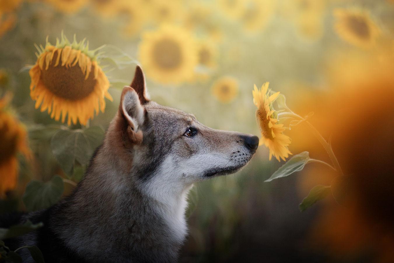 Léto s vlčákem