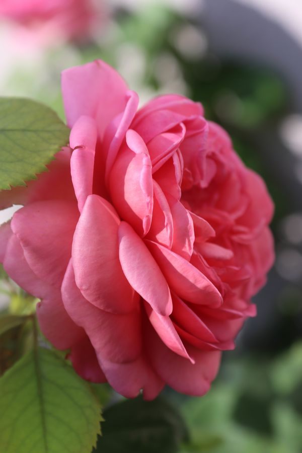 makro pink