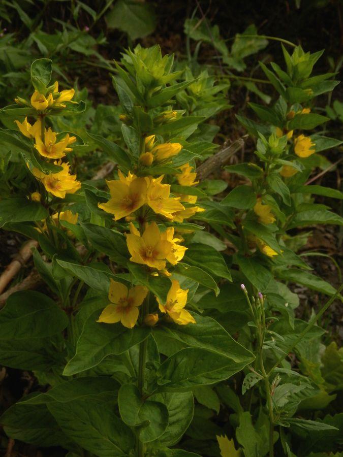 Malý obrazový atlas rostlin: Vrbina obecná