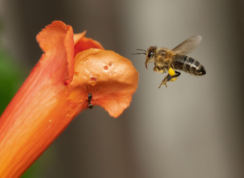 Včelí dělnice ...