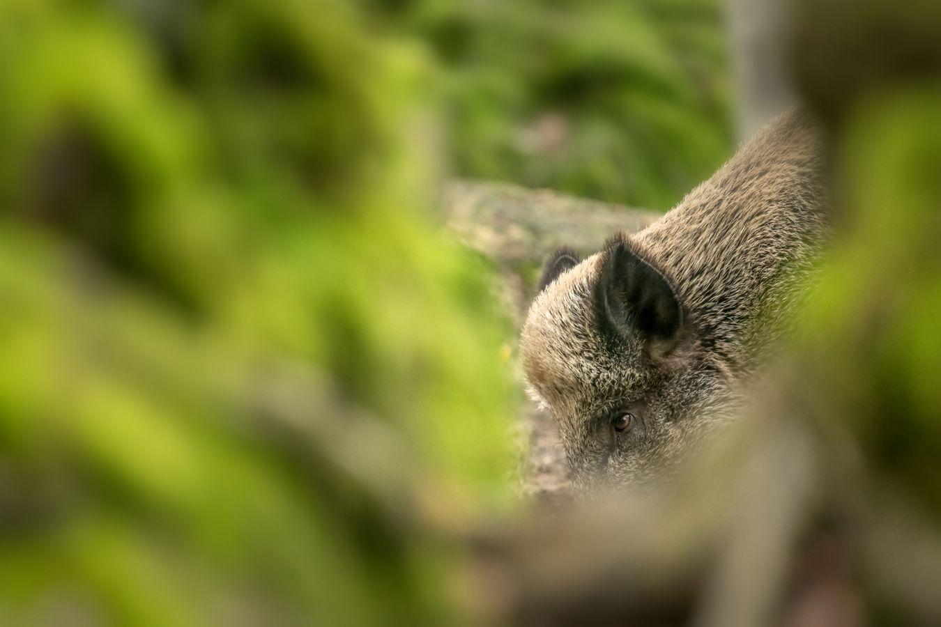 prase divoké, NP Bavorský les
