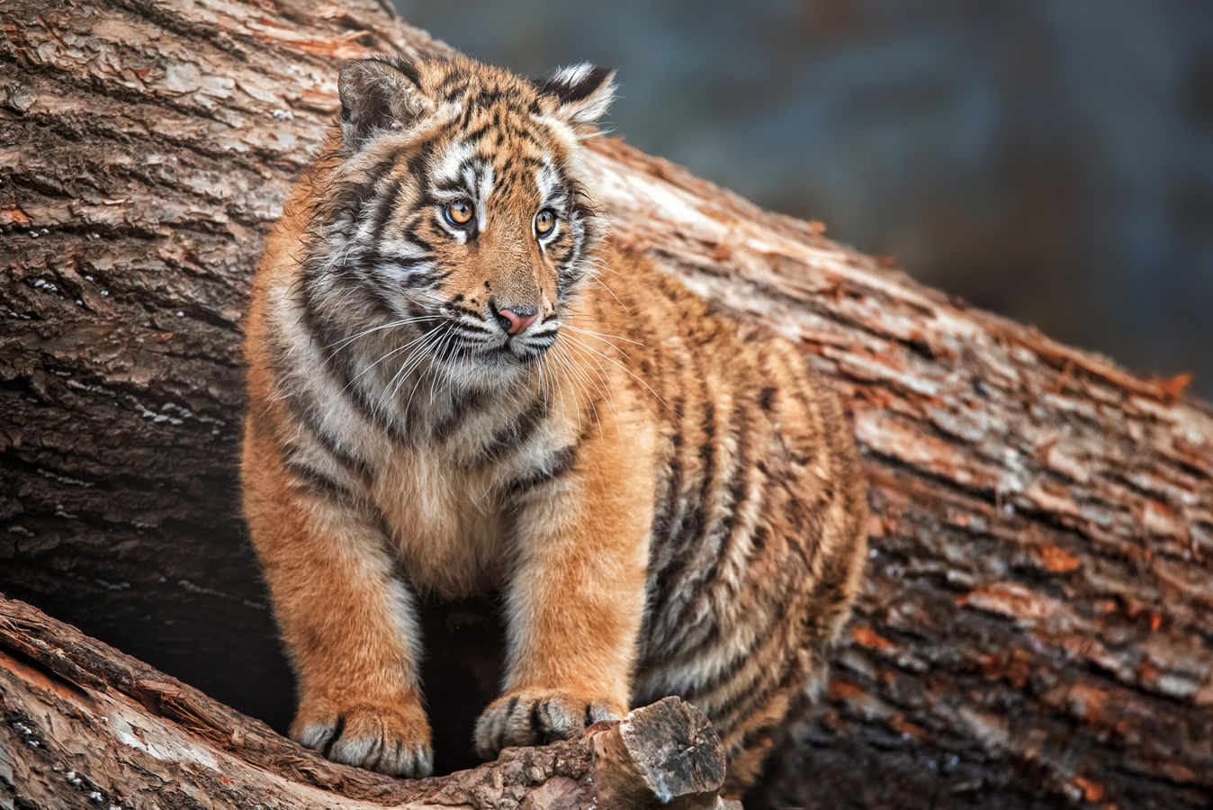 Tygr indický (Panthera tigris tigris)