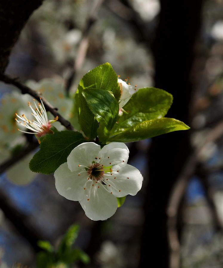 Kvetu