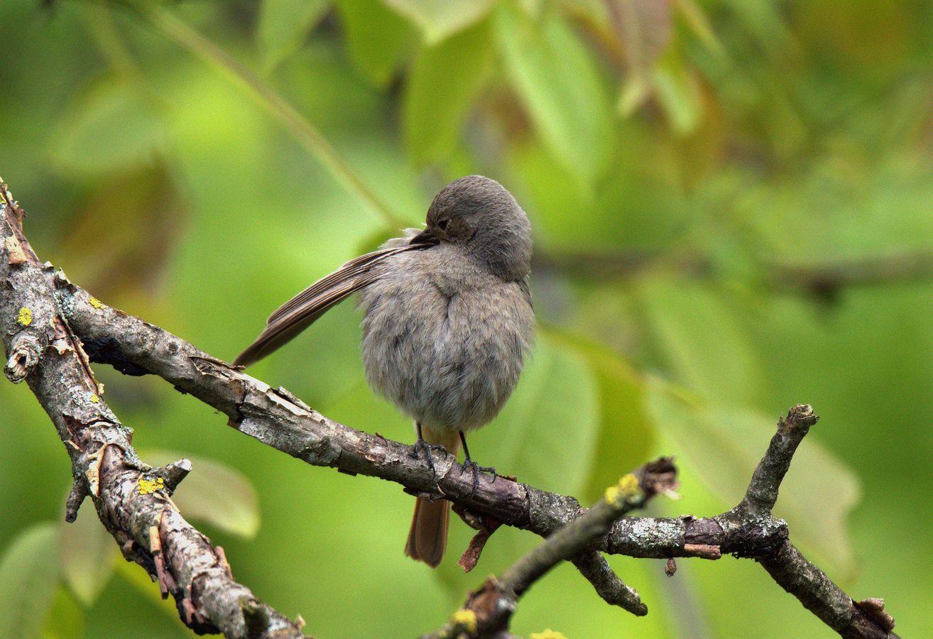 Rehek samička, úprava peří před dnem plným létáni.