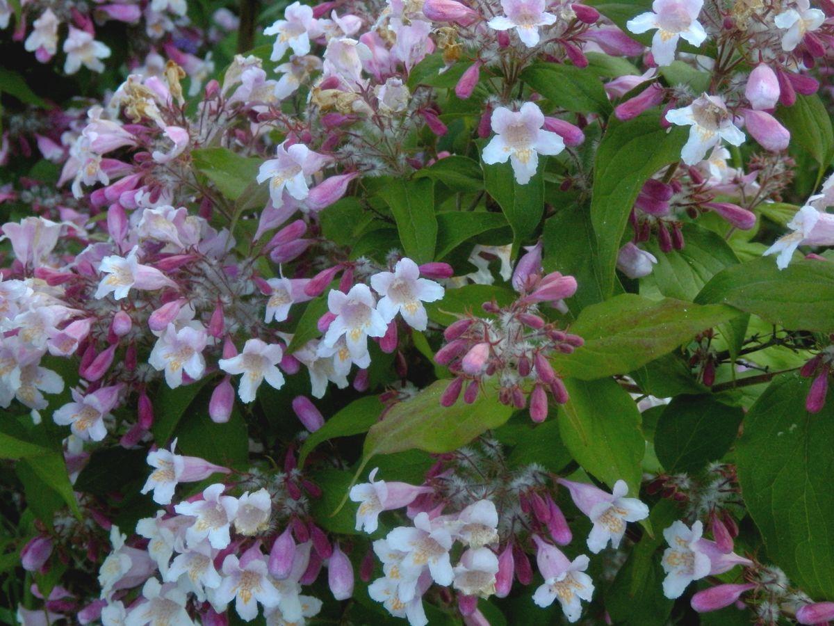 Malý obrazový atlas rostlin: Kolkvicie líbezná