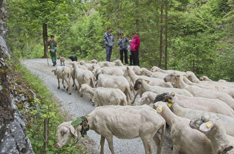návrat oviec do košiara z letnej paše...