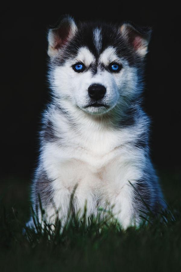 Štěně Sibiřský Husky