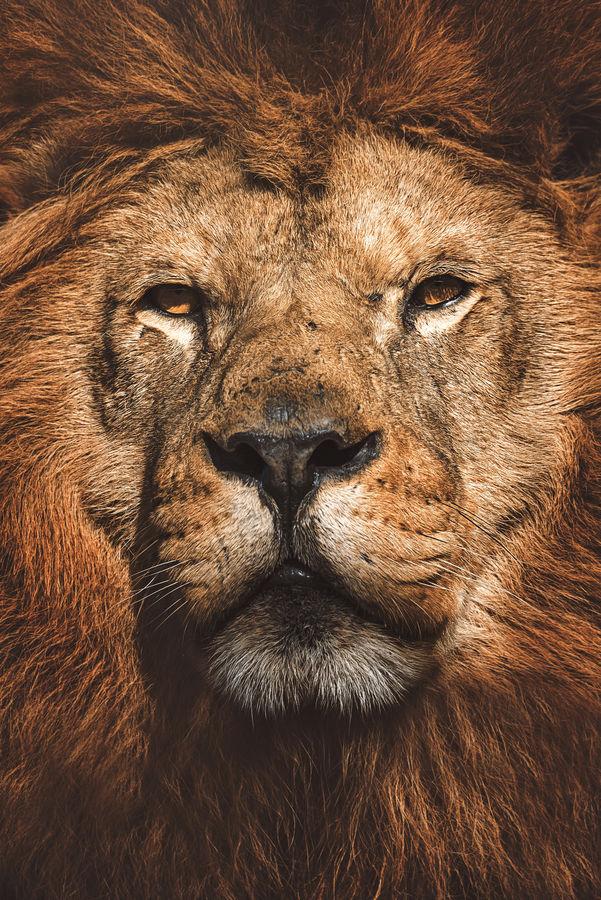 Lev pustiný  (Panthera leo)