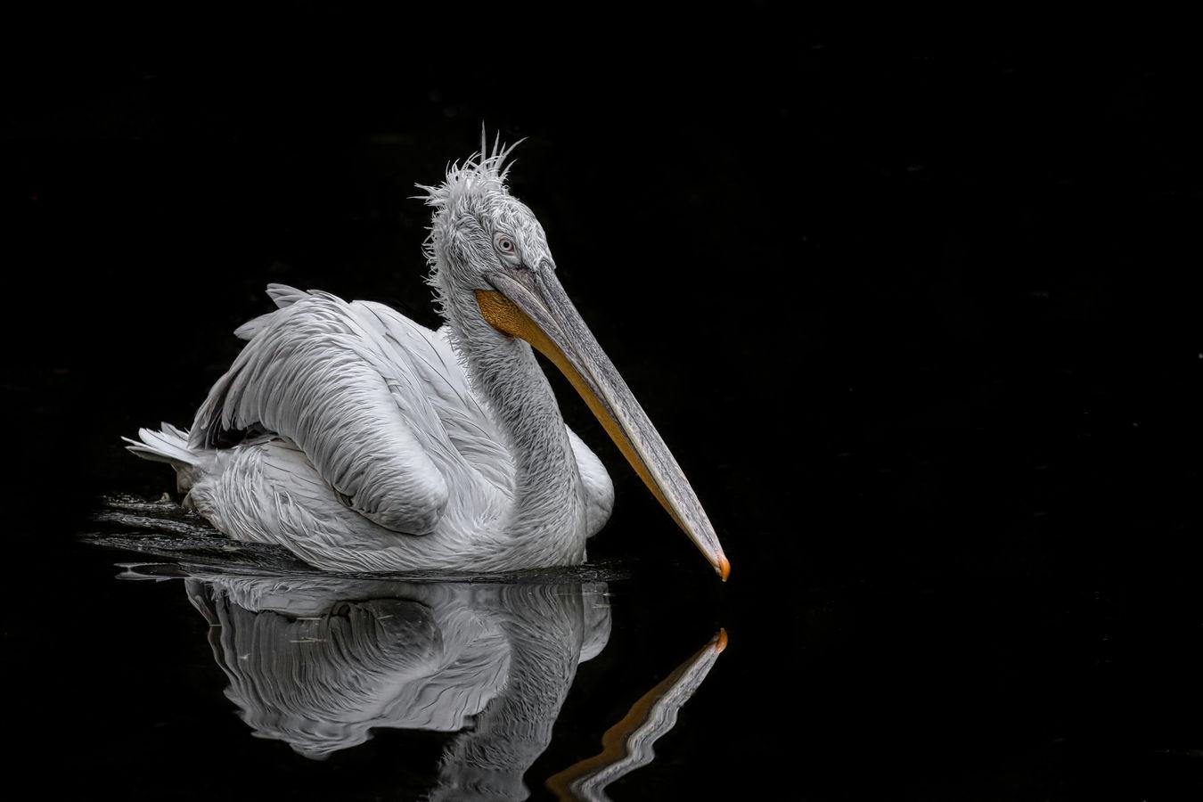 pelikán kadeřavý