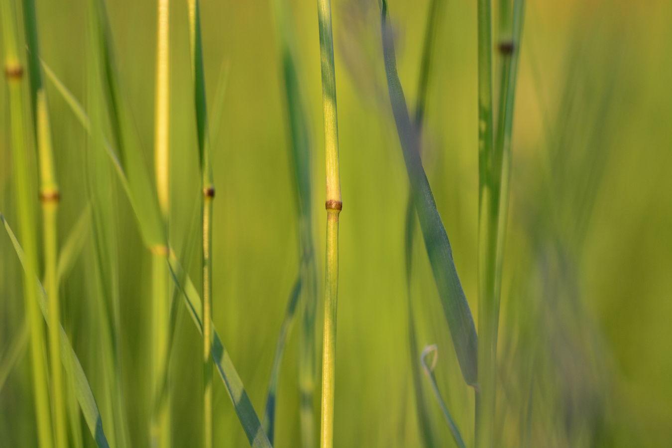 Stéblo trávy