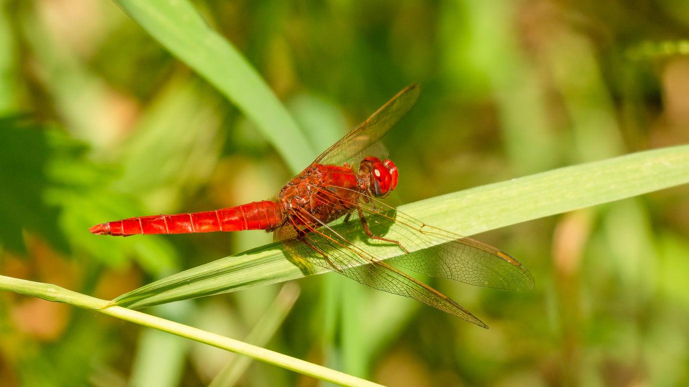 Vážka červená (Crocothemis erythraea)