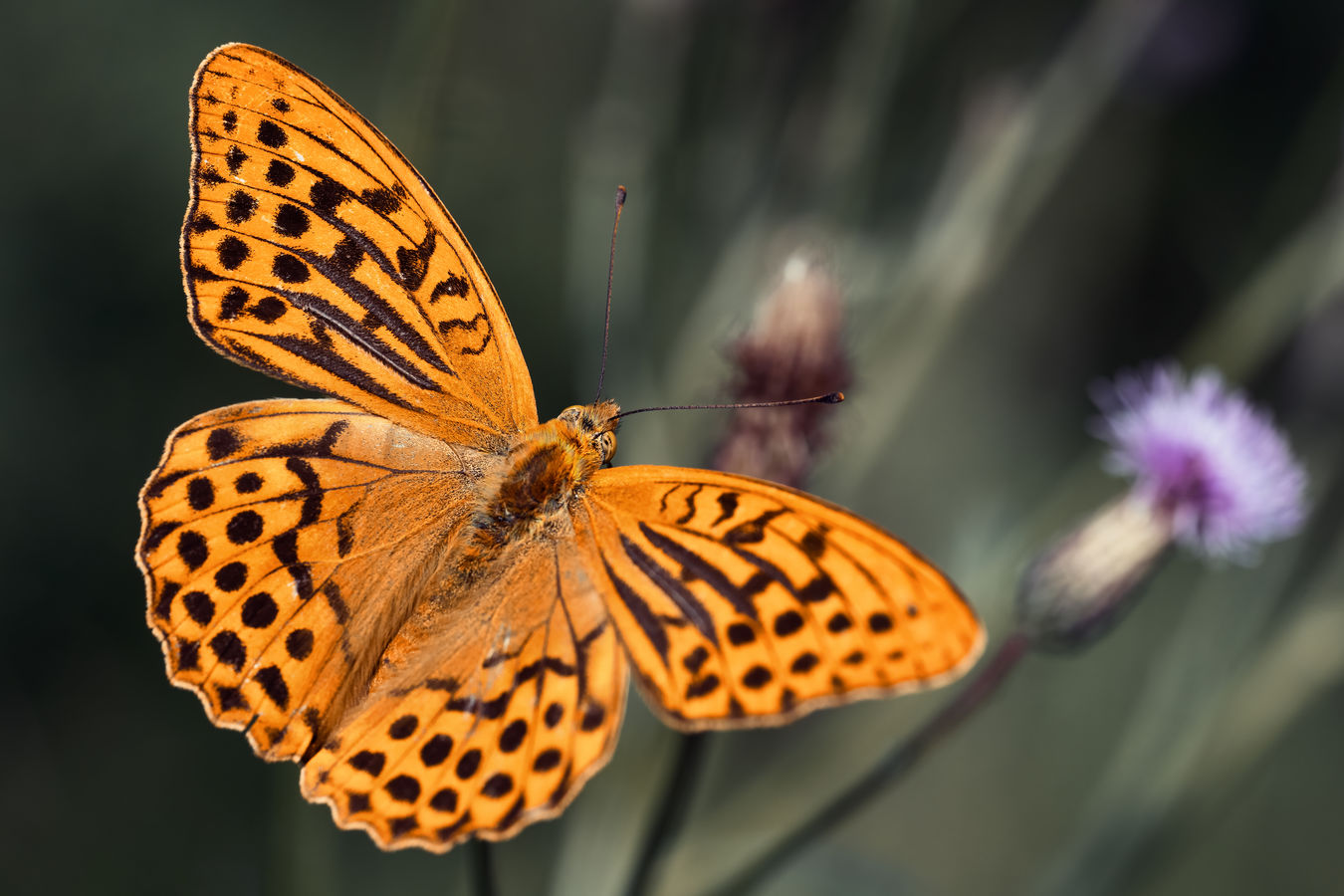 Motýlí zátiší z bodláku u cesty