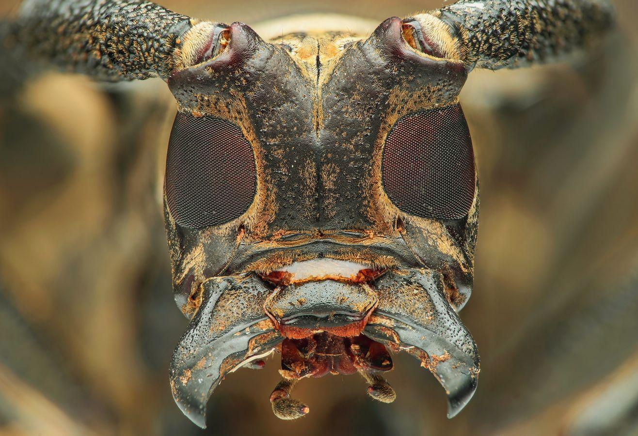 Kozlík rodu Batocera