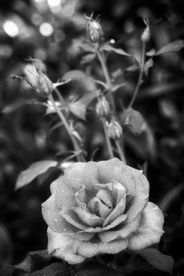Květ růže