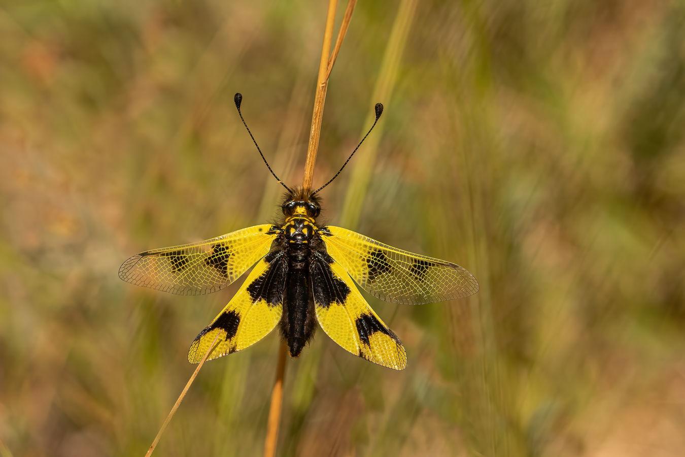 Ploskoroh pestrý (Libelloides macaronius )