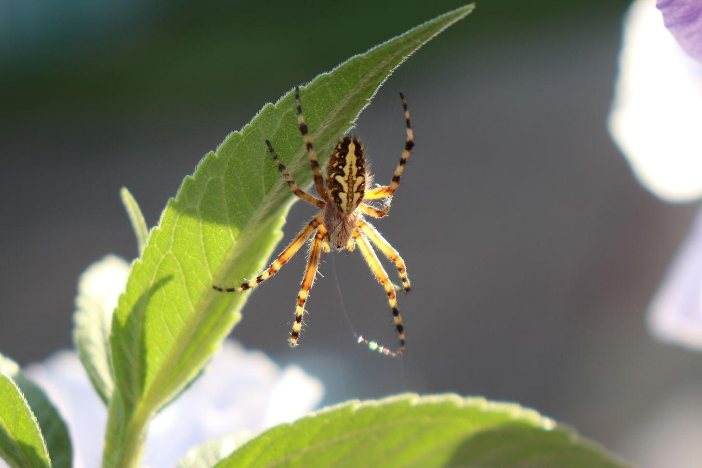 Pavouk II