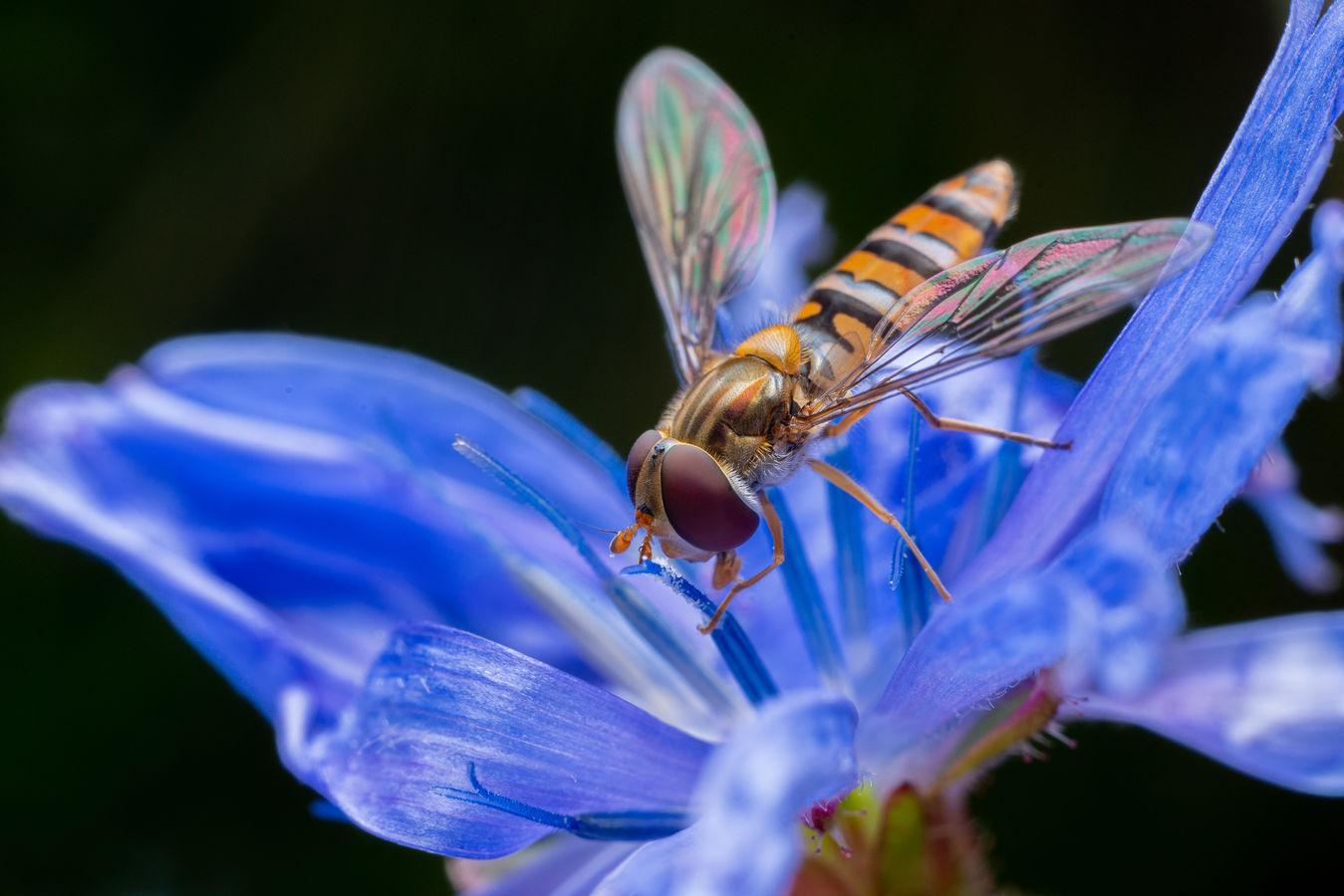 Pestřenka v modrém
