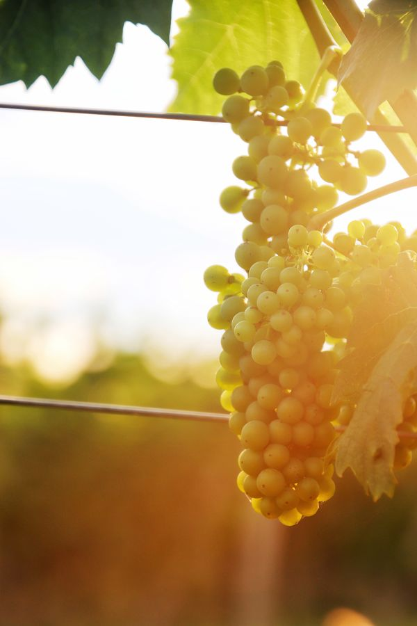 Ráno ve vinicích