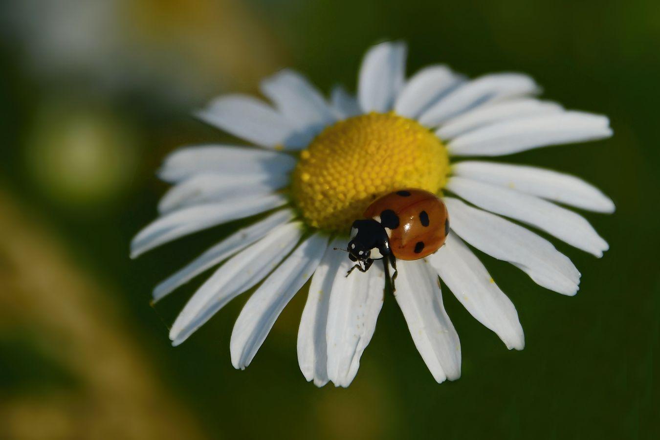 Bedrunka na květu