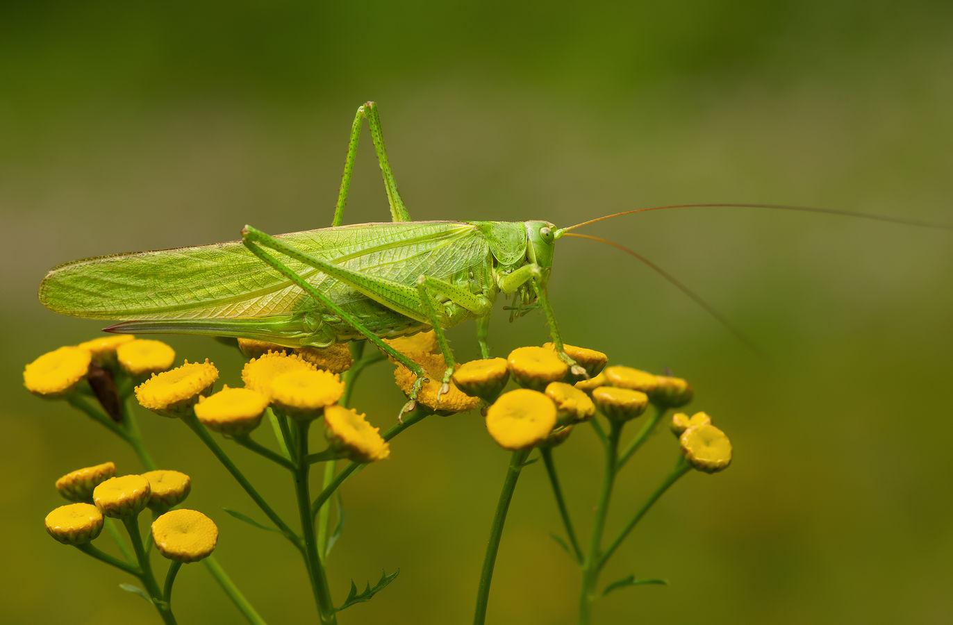 Zelená kobylka ...