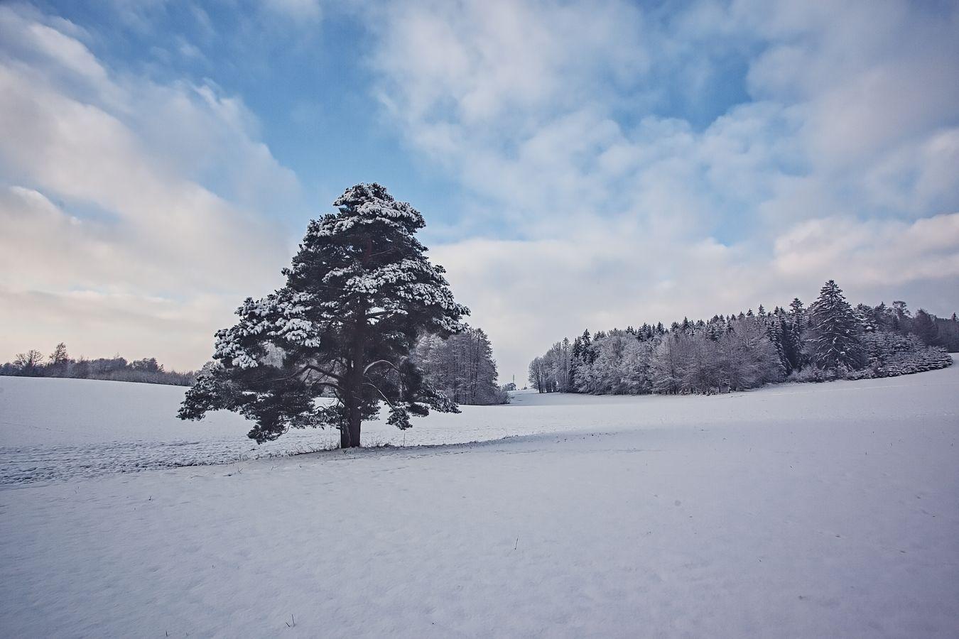 Osamělá borovice