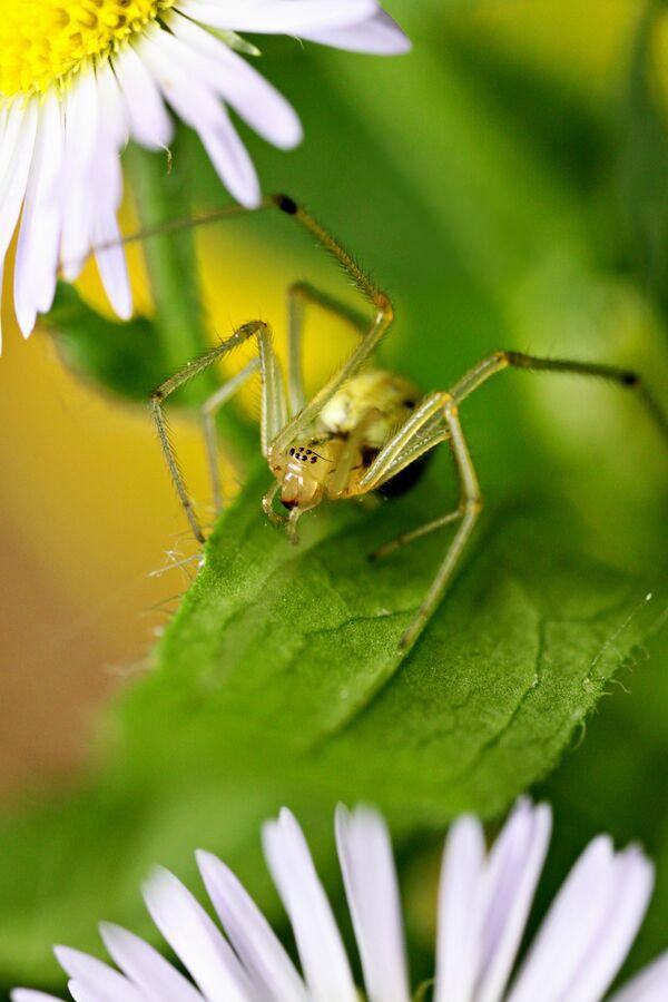 Turan roční (s pavoukem)