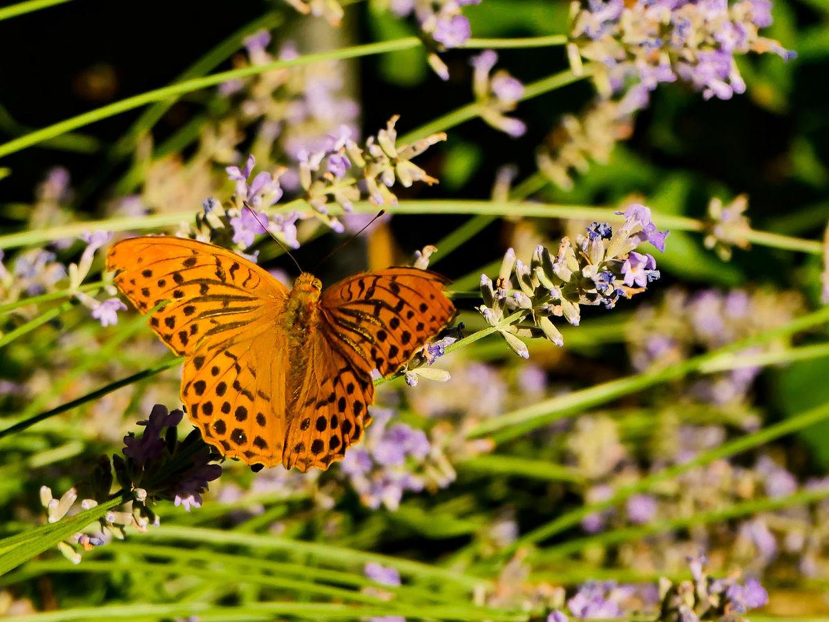 Monarcha levandulový (Perleťovec stříbropásek)