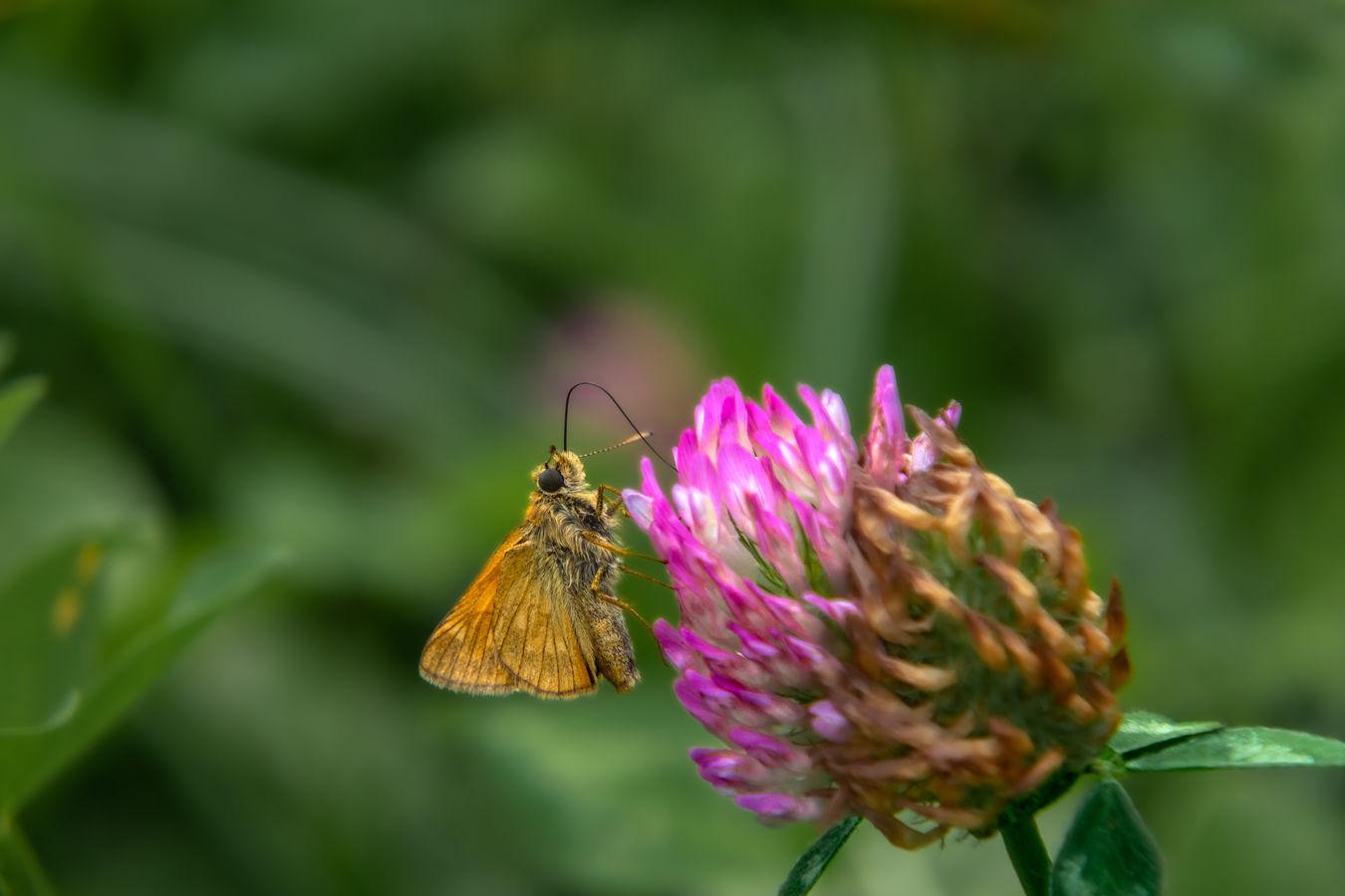 motýľ V