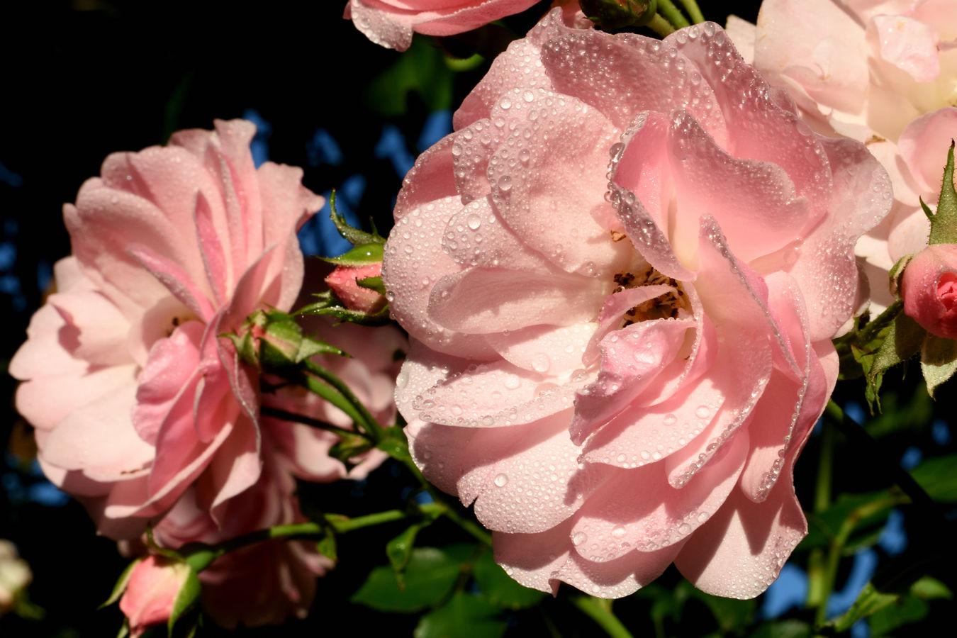 Ranní rosa