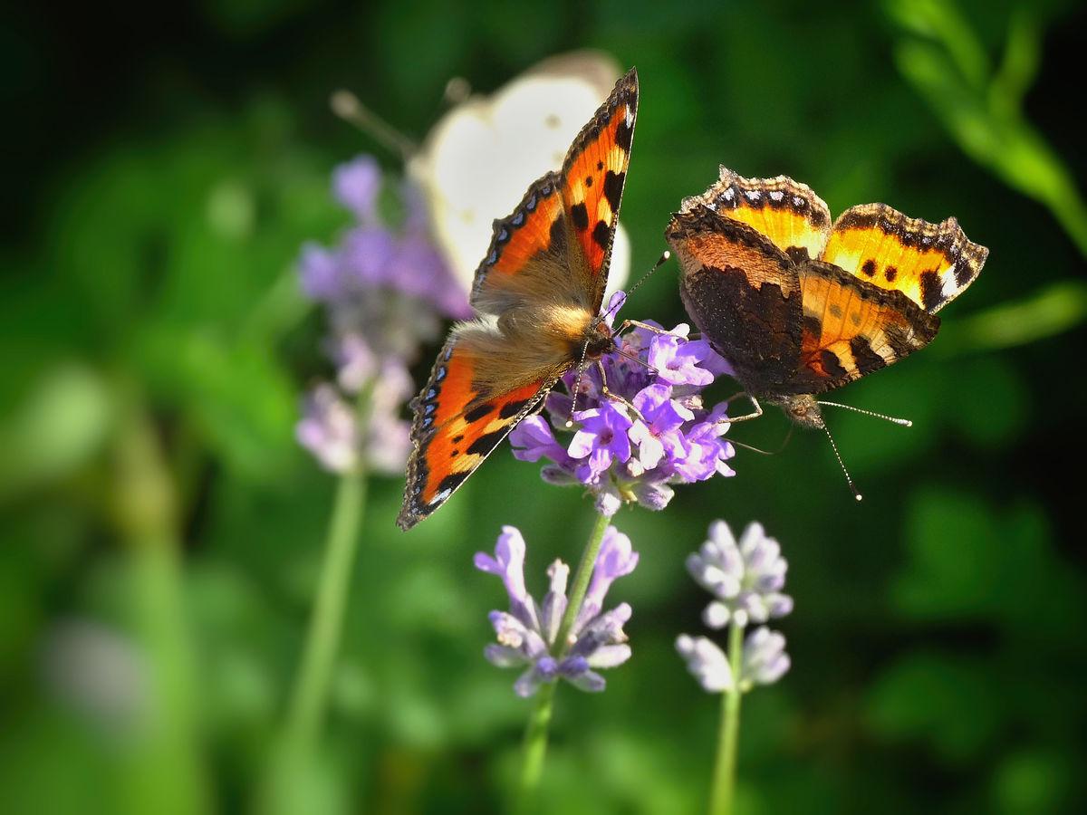 Motýlkové rande