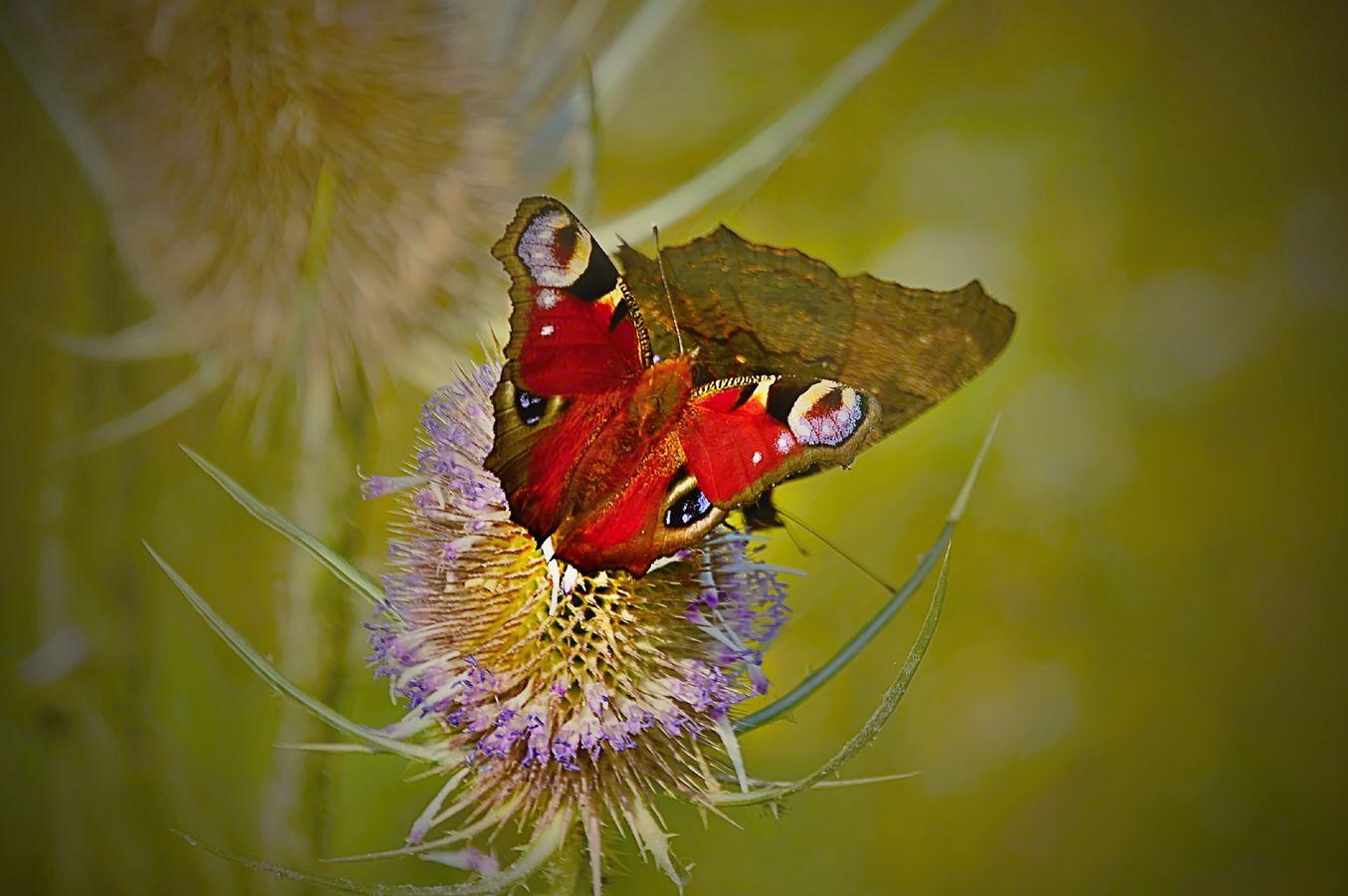 Motýlkování