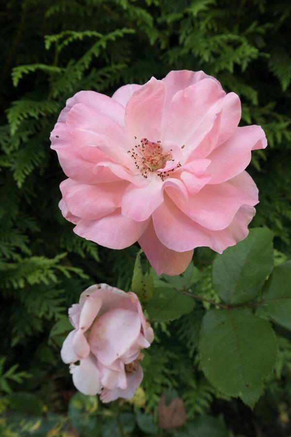 Růžová růže ze srpnových Vrbčan