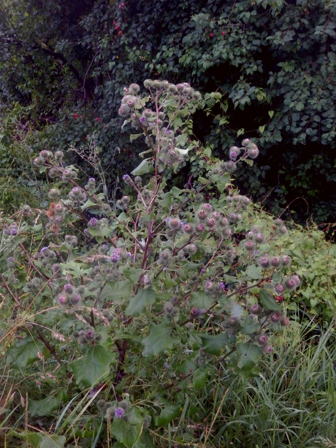 Malý obrazový atlas rostlin: Lopuch větší